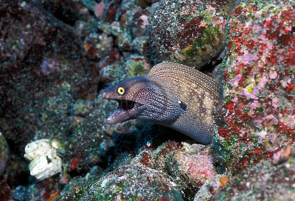 Whitespotted Moray - Muraena argus.Galapagos Islands, Ecuador....