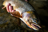 Cutthroat Trout Stock Photos