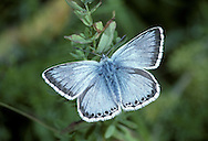 Chalkhill Blue Polyommatus coridon Wingspan 40mm. Iconic downland butterfly, males of which are a unique colour amongst British blues. Adult male has pale sky-blue upperwings; female's are dark brown with orange submarginal spots. Underwings of both sexes are grey-brown with spots. Flies July–August. Larva feeds on Horseshoe Vetch; sometimes discovered at dusk being attended by ants. Very local and restricted to chalk and limestone grassland in southern England.