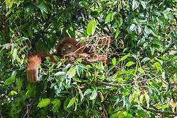 A critically endangered wild Sumatran orangutan (Pongo abelii) inside of its nest in a tree, Bukit Lawang, Sumatra, Indonesia