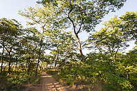 Miombo woodland with a sandy track running through the middle of it, Panda, Inhambane Province, Mozambique