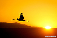 Sandhill Crane<br /> Bosque del Apache National Wildlife Refuge, New Mexico<br /> <br /> Sandhill Cranes are the most abundant of the world&rsquo;s cranes, being found throughout North America, Cuba and northeastern Siberia.<br /> <br /> Edition of 500
