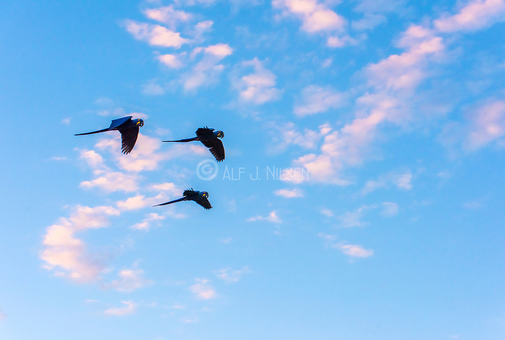 Three hyacinth macws (Anodorhynchus hyacinthinus) flying. Pantanal, Brazil.