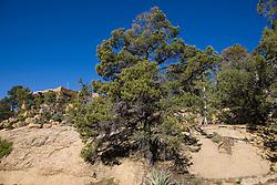 Two-needle pinyon pine tree (Pinus edulis), Mesa Verde National Park, near Cortez, Colorado.