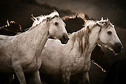 "Agrippas is a pack of wild mustangs running free off in the mountains in Lompoc CA at the Return to Freedom Wild Horse Sanctuary, these horses ran together and never parted from each other. This image is perfect for portraying what the name implies in greek, which is ""wild horse."""