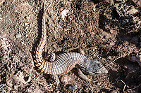 Cape Crag Lizard, Renosterveld, Western Cape, South Africa