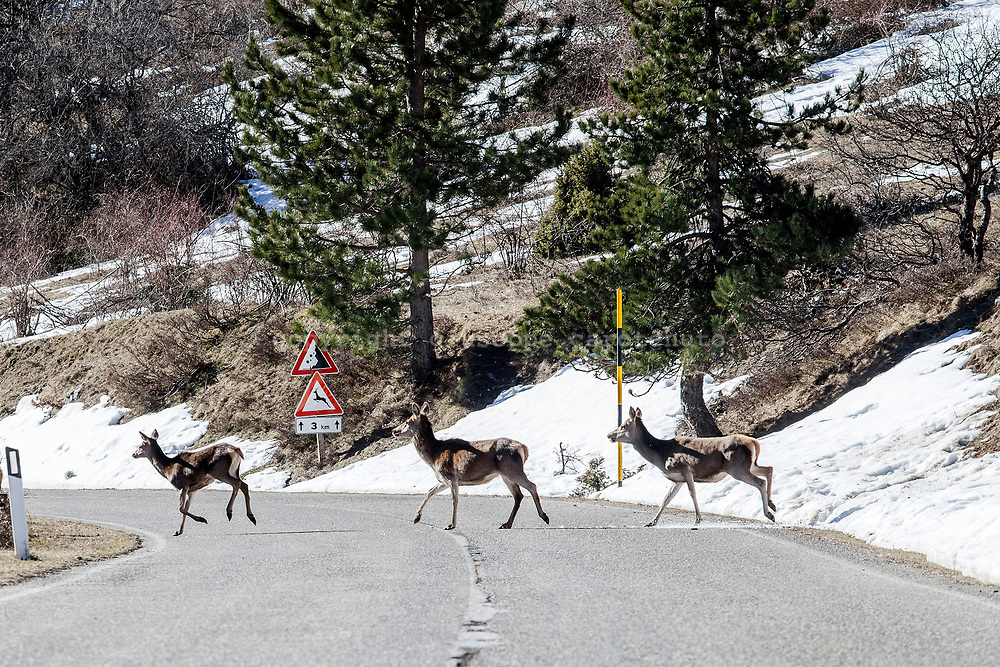 16 February 2017, Scanno - A group of deers crossing the street from the mountains on the way for the village of Scanno inside the National Park of Abruzzo.
