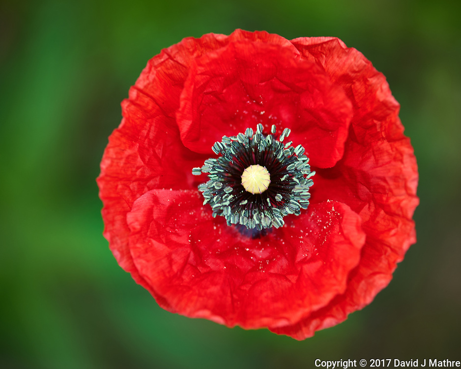 Red Poppy flower. Backyard spring nature in New Jersey. Image taken with a Nikon Df camera and 105 mm f/2.8 VR macro lens and SB-910 flash (ISO 100, 105 mm, f/4, 1/60 sec).