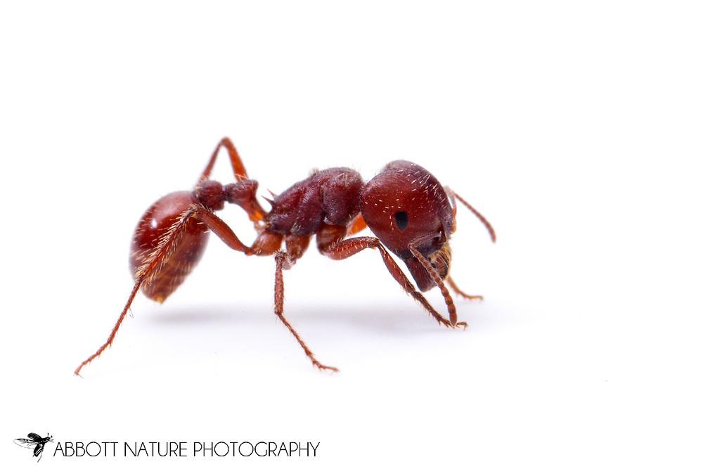 Harvester Ant (Pogonomyrmex barbatus) worker<br /> TEXAS: Edwards Co.<br /> Bruce Moring Ecolab off C.R. 24; Camp Wood, 6 km NW<br /> 27-Jan-2013  29.74391 -100.09612<br /> J.C. Abbott #2637 &amp; K.K. Abbott
