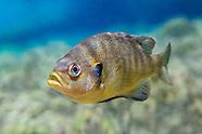 Spotted Sunfish, Underwater