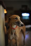Greyhound Rescue Fostering