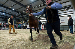 © Licensed to London News Pictures. 03/11/2019. Llanelwedd, Powys, Wales, UK.  High prices are realised on the last day of the 56th Autumn Cob sale. The Autumn Cob Sale is the largest sale in the World of registered Welsh Cobs Section D, Welsh Ponies of Cob Type Section C and their Part Breds. The sale, held by Brightwells auctioneers, takes place over three days at The Royal Welsh Showground in Builth Wells, Powys, UK, attracting an audience of thousands of Welsh Cob enthusiasts worldwide. Photo credit: Graham M. Lawrence/LNP