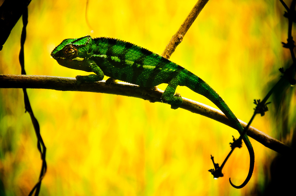 A chameleon in Marojejy National Park, Madagascar..Photographer: Chris Maluszynski /MOMENT