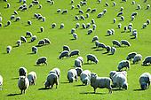 New Zealand Farm Animals