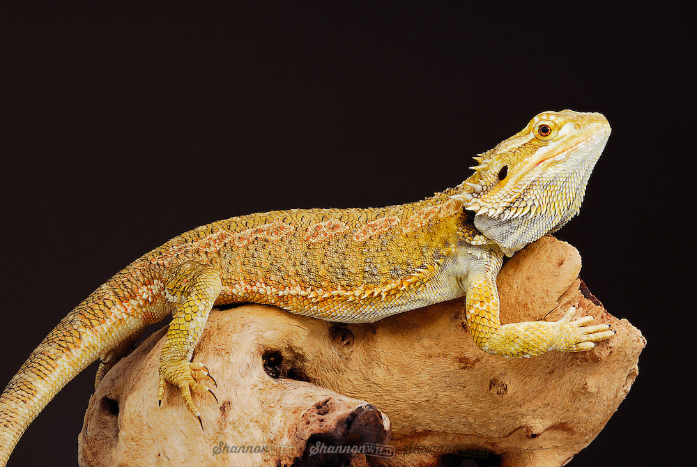 Yellow phase Central Bearded Dragon (Pogona vitticeps).  An agamid lizard occurring in arid regions of Australia.  Popular as pets.  Also known as the Inland Bearded Dragon.