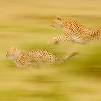 Cheetah Mom and Cub running, Masai Mara, Kenya