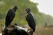 Black vultures (Coragyps atratus) in the rain at Playa Ostional, Costa Rica, Pacific coast, waiting fo a chance to forage on eggs or hatchlings of the olive ridley sea turtle (Lepicochelys olivacea). | Zwei Rabengeier (Coragyps atratus, links ein Jungtier mit schwarzem Kopf, rechts ein Alttier mit der typischen grauen, runzeligen Haut) lassen sich durch einen Regenschauer nicht von ihrem Aussichtspunkt am Strand von Ostional vertreiben. Sobald wieder junge Meeresschildkröten auf der Sandoberfläche erscheinen, werden sie ihre nächste Mahlzeit einnehmen.