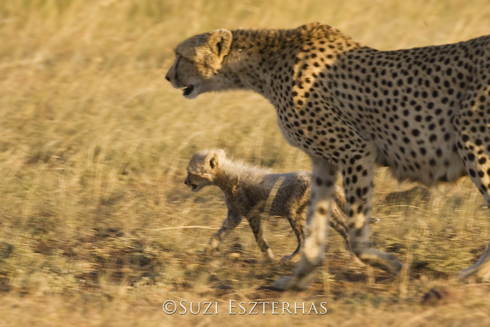 Cheetah<br /> Acinonyx jubatus<br /> Mother and 6 week old cub (s) in long grass<br /> Maasai Mara Reserve, Kenya