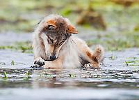 A Coastal Wolf (C.L. Nubilis) a subspecies of Grey Wolf roams a beach  in the Great Bear Rainforest.  Fjordland, Great Bear Rainforest, Northern British Columbia Coast, British Columbia, Canada.