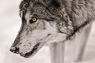 Timber Wolf, Lakota Wolf Preserve, Columbia, New Jersey