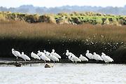 Royal Spoonbill feeding in Invercargill Estuary, Southland, New Zealand