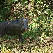 Eurasian wild pig, sus scrofa. Pang Sida National Park, Thailand.
