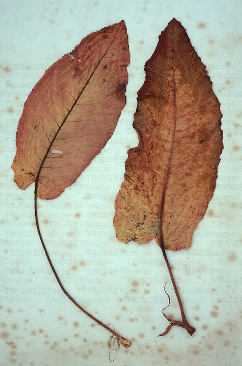 Two brown red leaves of Broad-leaved dock or Rumex obtusifolius lying on antique paper