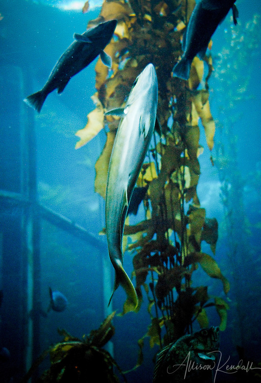 A silver, yellow-green fish swims upward in the Kelp Forest tank aat the Monterey Bay Aquarium