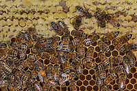 European honey bee (Apis mellifera), capped honey, Captive,  credit: Palo Alto JMZ/M.D. Kern