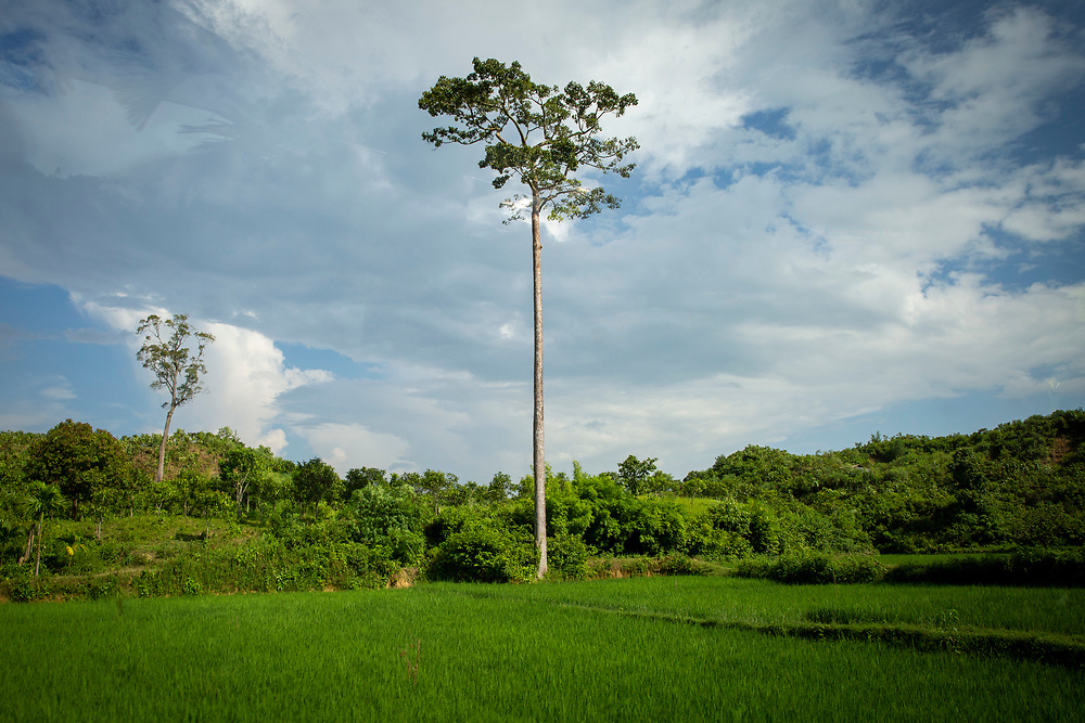 A tall tree stands in the corner of a A large green rice paddy field from Teknaf Highway, near Cox Bazar, Chittagong Division, Bangladesh, Asia. The blue sky is full of thick white clouds.  (photo by Andrew Aitchison / In pictures via Getty Images)