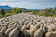 A herd of sheep blocks the road in Paonia, Colorado.