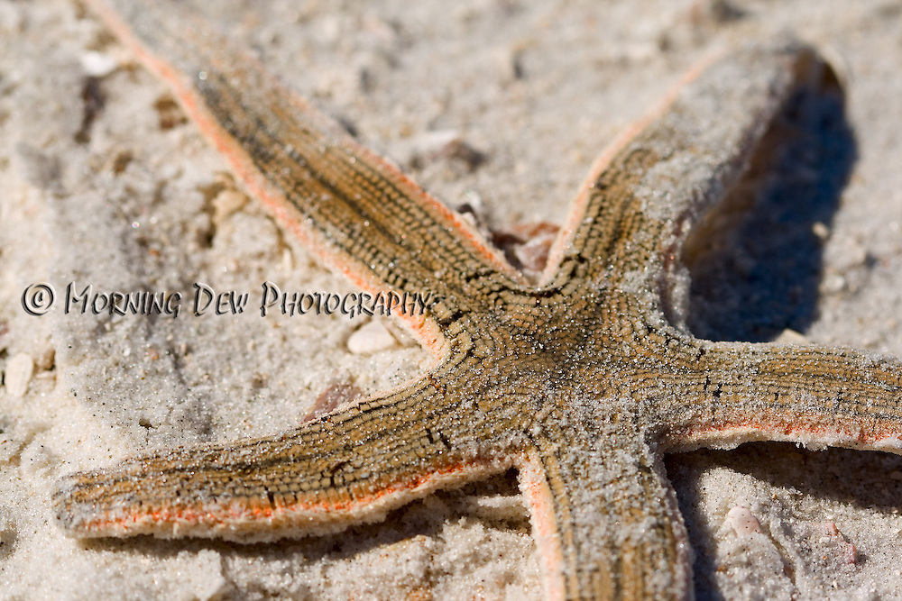 Macro shot of a sea star that had washed ashore after a recent storm. Honeymoon Island State Park, Dunedin, FL
