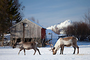 Reindeer herd in the snow in arctic landscape at Kvaløysletta, Kvaloya Island, Tromso in Arctic Circle Northern Norway