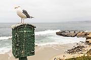 Seagull Photographed at La Jolla Cove, La Jolla, San Diego, California, USA