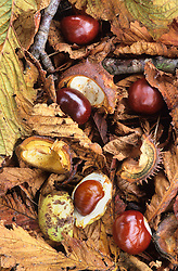 Conkers amongst fallen autumn leaves. Horse chestnut. Aesculus hippocastanum