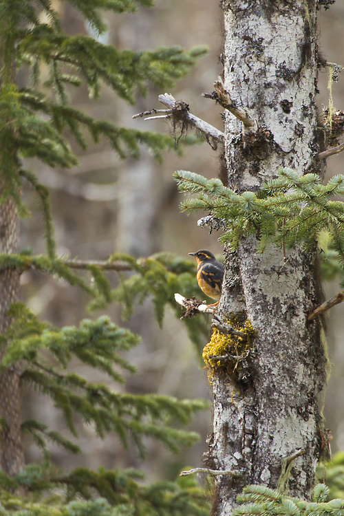 A varied thrush (Ixoreus naevius) sits perched in a spruce in Glacier Bay National Park.