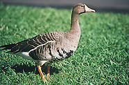 White-fronted Goose photos