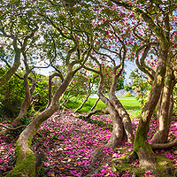 Wild Rododendron, Killarney County Kerry, Ireland