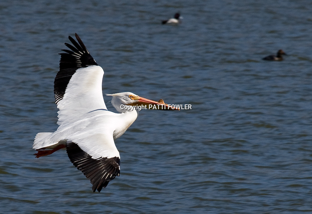 American Pelican flying over lake