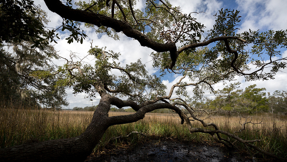 PINCKNEY ISLAND, S.C. - FEBRUARY 20, 2018: The branches of a live oat tree extend over a marsh on Pinckney Island National Wildlife Refuge near Hilton Head Island. (WABE Photo/Stephen B. Morton)