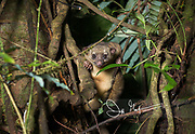 A Kinkajou looks climbs down a tree at night in search of food.