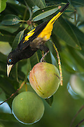 Yellow-rumped Cacique (Cacicus cela)<br /> Orinoco River, north of Puerto Ayacucho. Apure Province, VENEZUELA/COLOMBIA border. South America.<br /> RANGE: Central Panama to w Ecuador, n Bolivia, the Guianas and Amazonian Brazil & Trinidad.<br /> They nest in colonies weaving pouch-like nests places in high branches near wasp nests. They are very melodious birds. Feed on berries, fruit and insects.<br /> The Orinoco is the 3rd longest river in S. America 2,200Km and the third largest in Volume in the world after the Amazon and the Congo Rivers. 1 200 000 cubic meters of water into the Atlantic Ocean through its huge deltas per year.