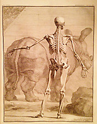 18th Century Anatomical Engraving. Rear view of a human skeleton