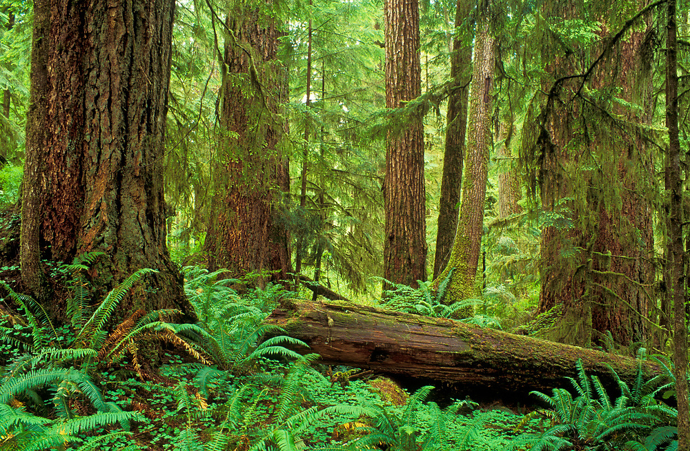 Old-growth temperate rainforest; Quinault Rainforest Trail, Olympic National Forest, Washington.
