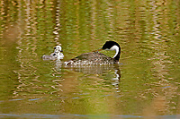 An adult Western Grebe preens while its two chicks swim alongside.