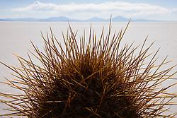 Awash in the golden color of sunset, the trichoreus cacti of Isla Incahuasi look down on the salar,Salar de Uyuni,  Bolivia
