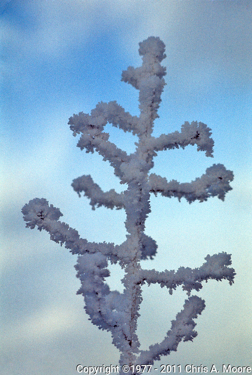 A weed is covered in Hoar Frost after a freezing Fog, Helena, Montana, February 1977.