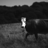 A cow in a field