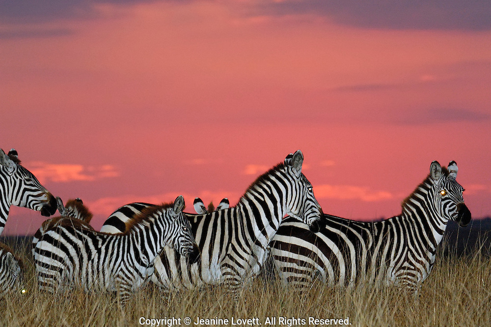 Zebras just after sunset with a ruby red sky. Eyes of the zebras are bright from use of a camera flash.