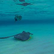 Stingrays swiming  among the tourist at Stingray City. Grand Cayman Island.